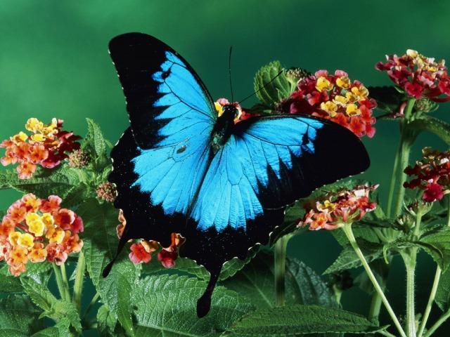 borboleta preta com azul